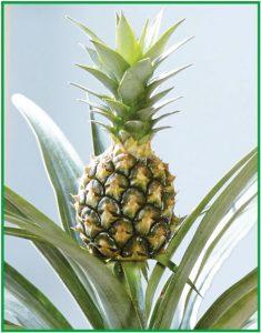 Do Pineapples Grow On Trees Bali Advertiser